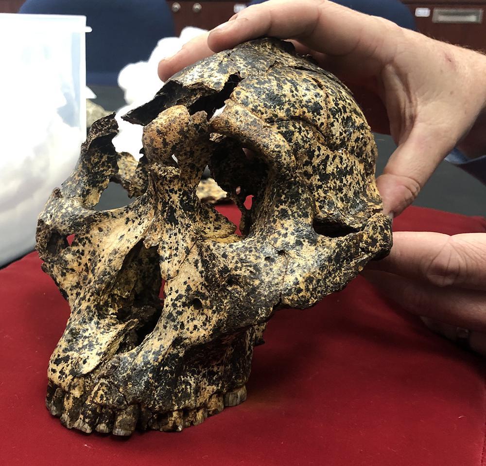 The Paranthropus robustus skull.