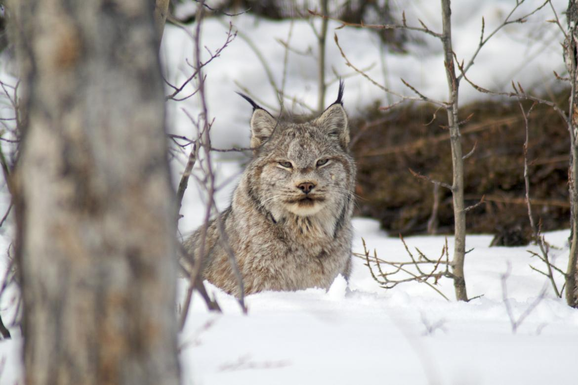 A Canada Lynx in the forest