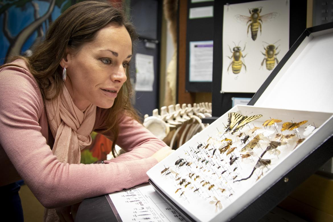 Dr. Jasmine Janes, a VIU Biology Professor, examines some of the insect specimens at the VIU Museum of Natural History.