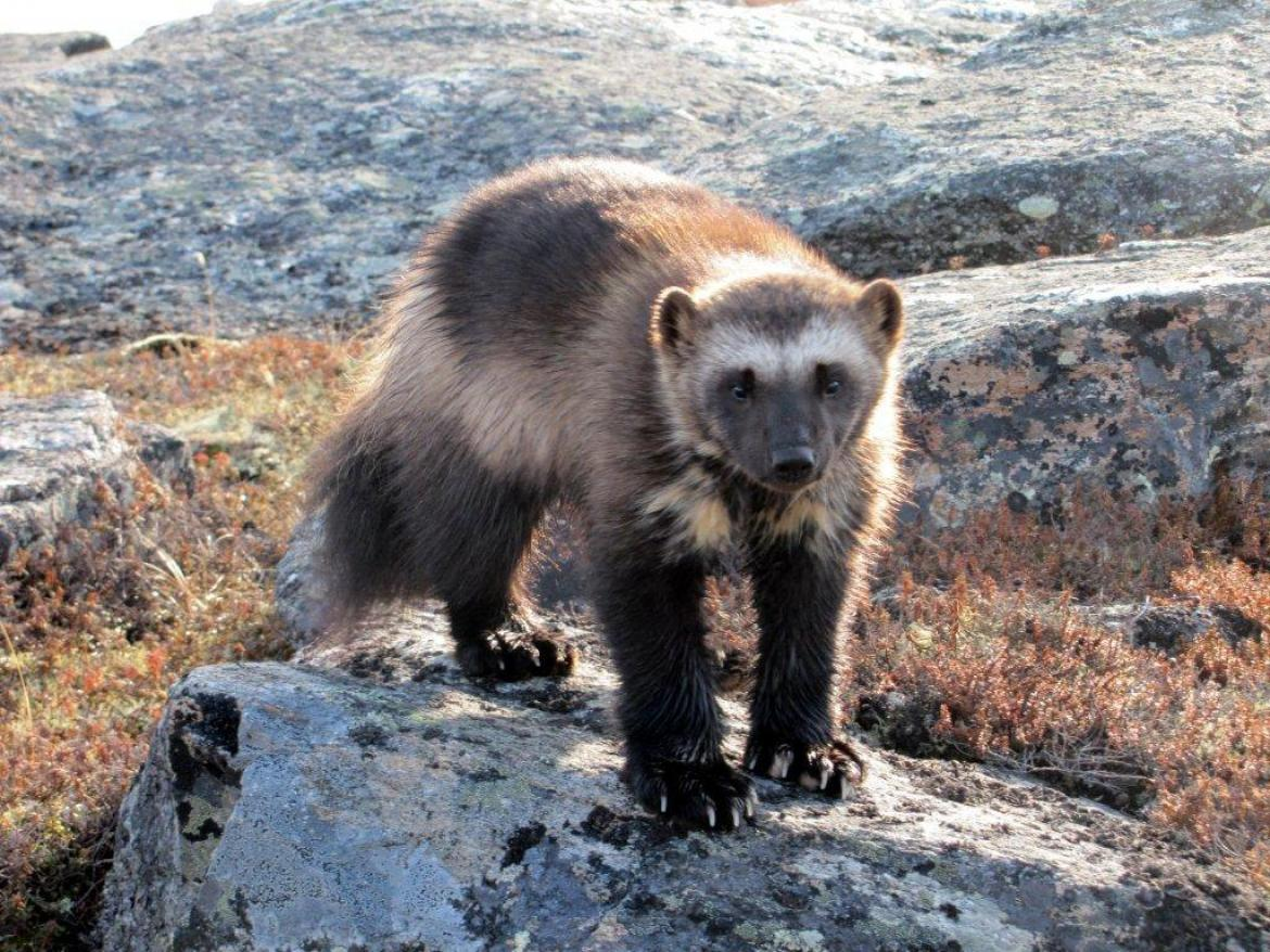 A wolverine stands on a pale grey rock in the wilderness.