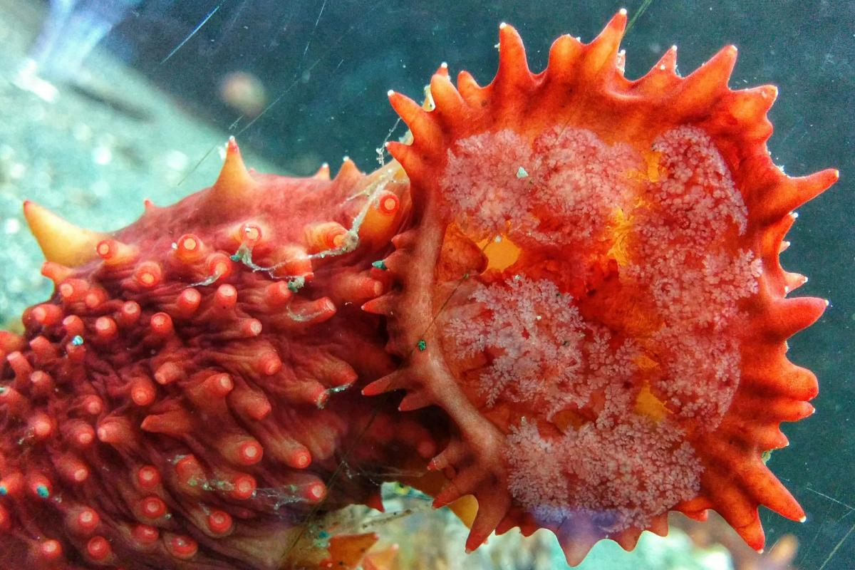 An orange sea cucumber in one of Deep Bay's touch tanks