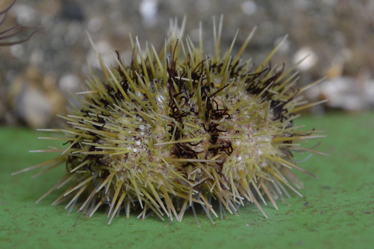 A sea urchin with brown stripes and green spikes.