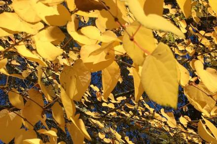 Yellow Katsura leaves on a tree